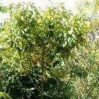 ruzove drevo esencialny olej bio florihana