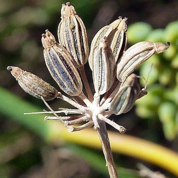 fenikel sladky esencialny olej bio florihana