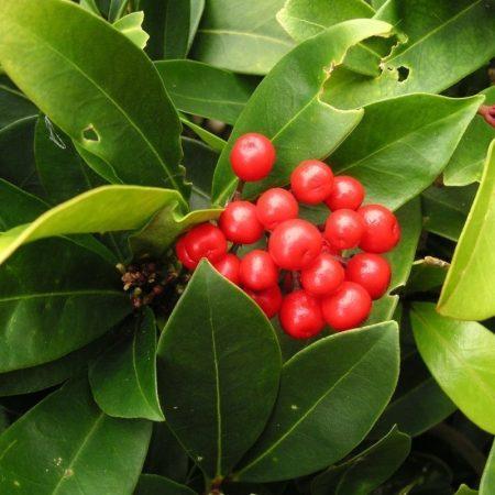 gaulteria wintergreen florihana esencialny olej bio
