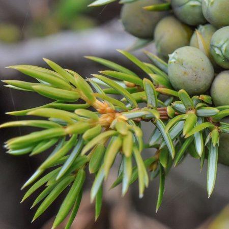 borievka horska florihana esencialny olej bio