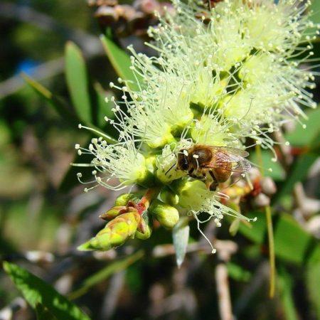 niaouli esencialny olej bio florihana