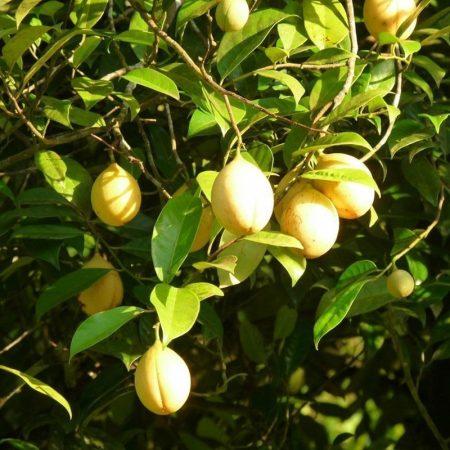 muskatovy oriesok florihana esencialny olej bio