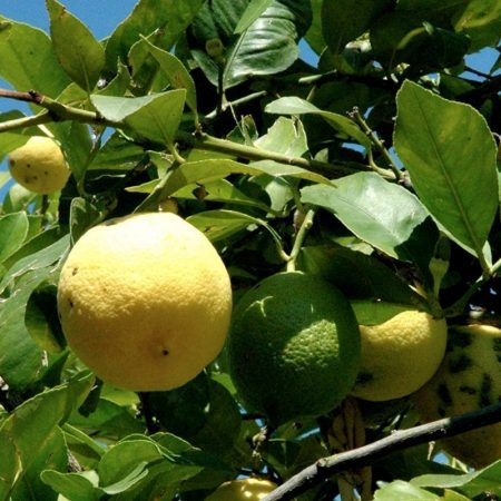 grapefruit esencialny olej bio florihana