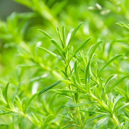 saturejka florihana esencialny olej bio