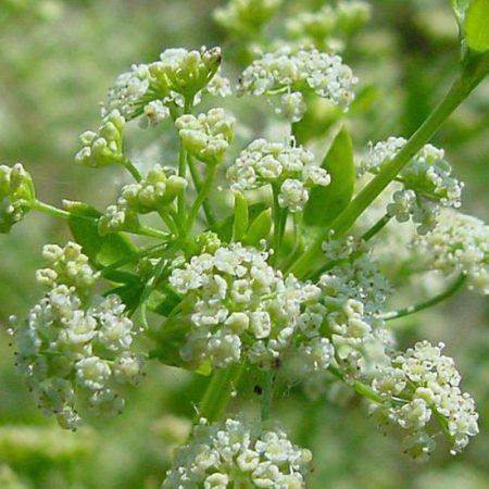 zeler semena florihana esencialny olej bio