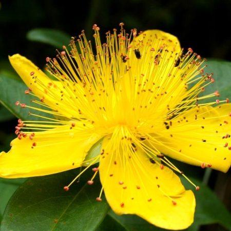 lubovnik bodkovany florihana esencialny olej bio