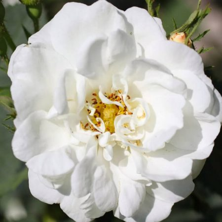 ruza biela bio esencialny olej florihana