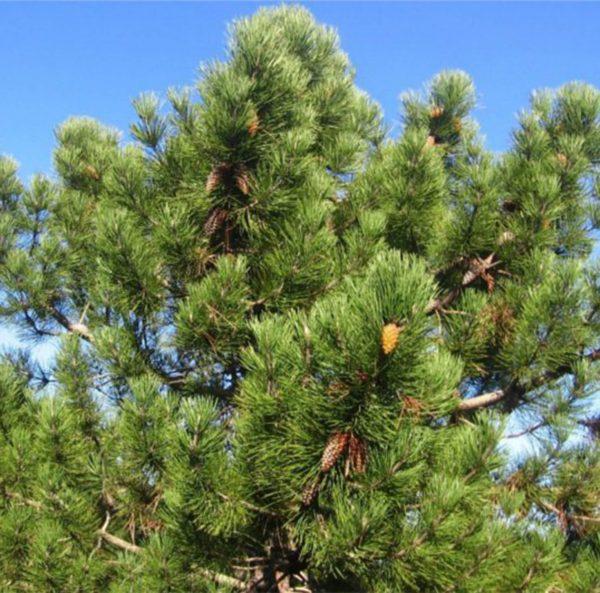 borovica primorska florihana esencialny olej bio